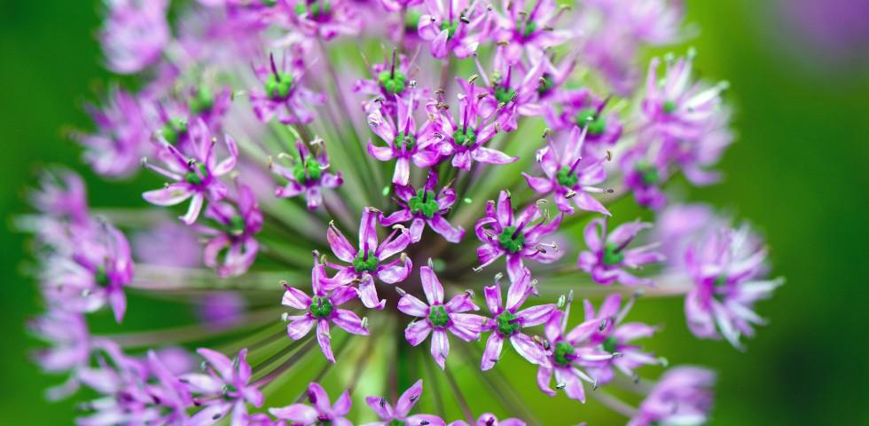 paarse-bloemen-4-364707