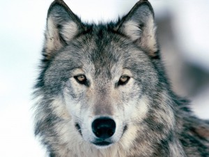 Wallpapers_de_animales_lobos