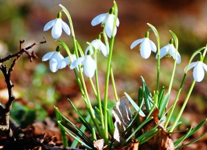 snowdrops-flowers-white-flowers-sprout-flower-seedlings-fresh-nature-macro-2560x1440